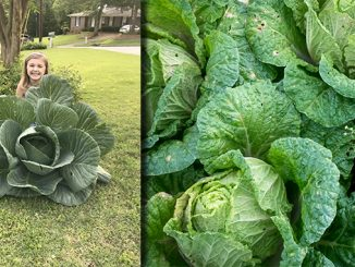Bonnie Plants Relaunches 3rd Grade Cabbage Program